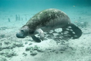 1024px-Underwater_photography_of_fish_and_manatee